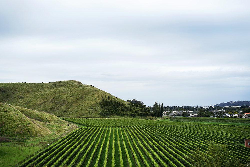 New Zealand - Vinyard 4.jpg