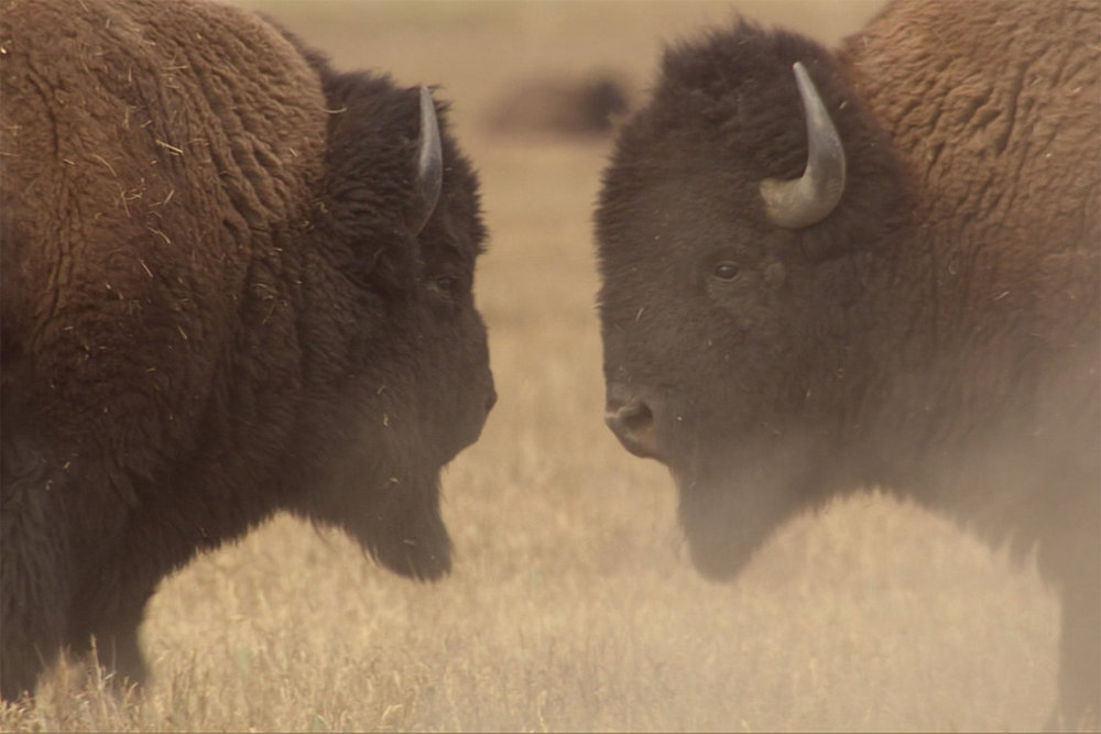 Yellowstone: Battle for Life , BBC