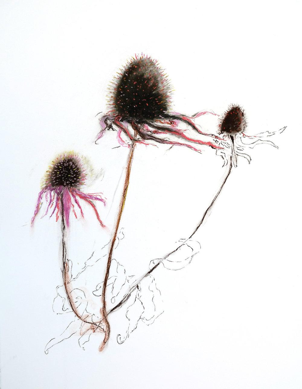 Dried Echinacea