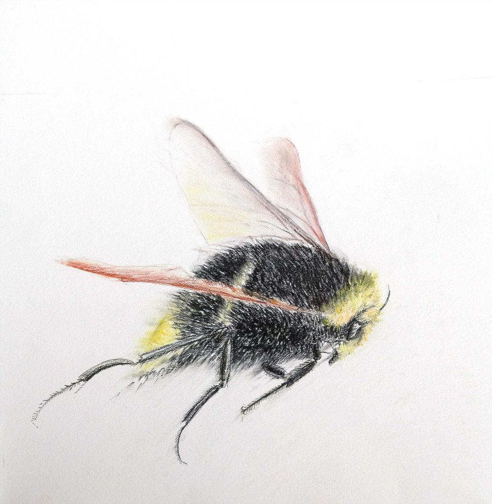 Bumble Bee 1. small.jpg