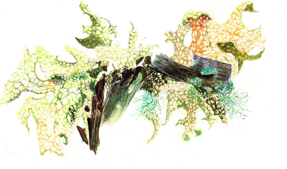 'Relax' Lung Lichen, Lobaria Pulmonaria