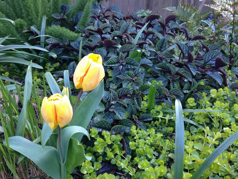 Scurlock Tulips.jpg