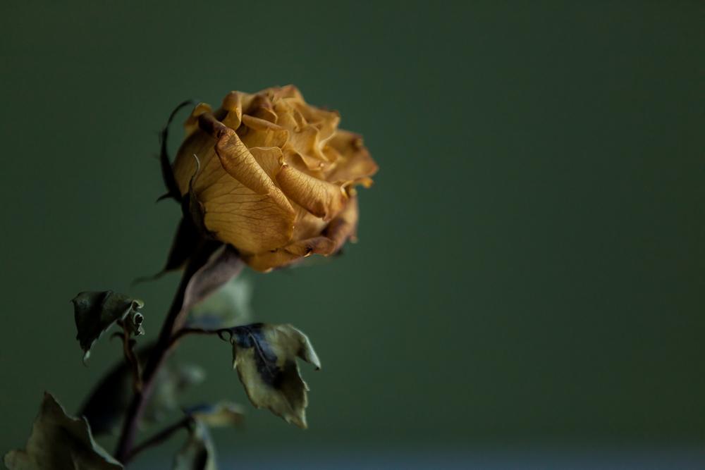 Curling Rose Petals.jpg