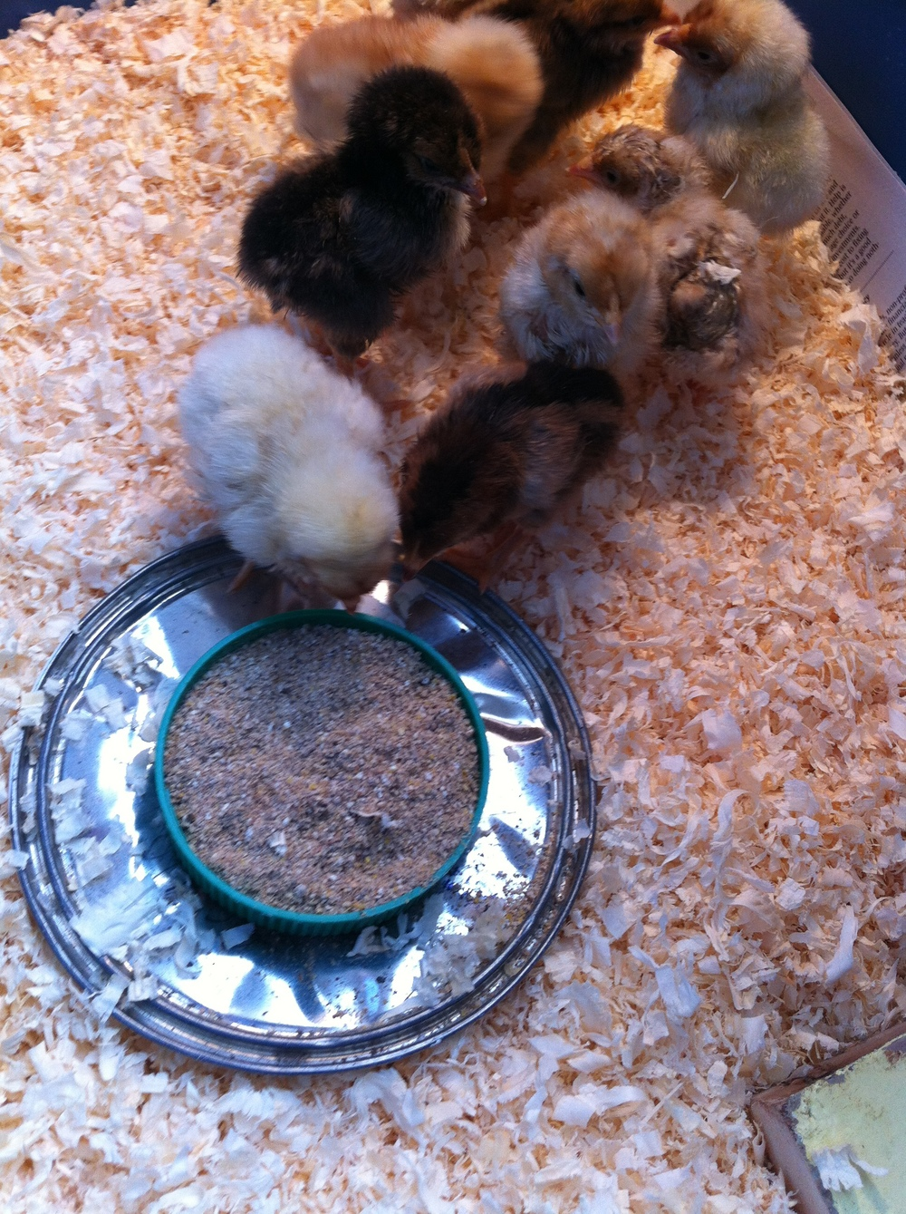 Our nine chicks who are growing so fast!