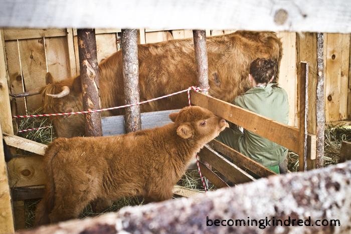 milking-1896.jpg
