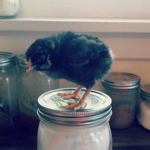 chicksagnes2.jpg