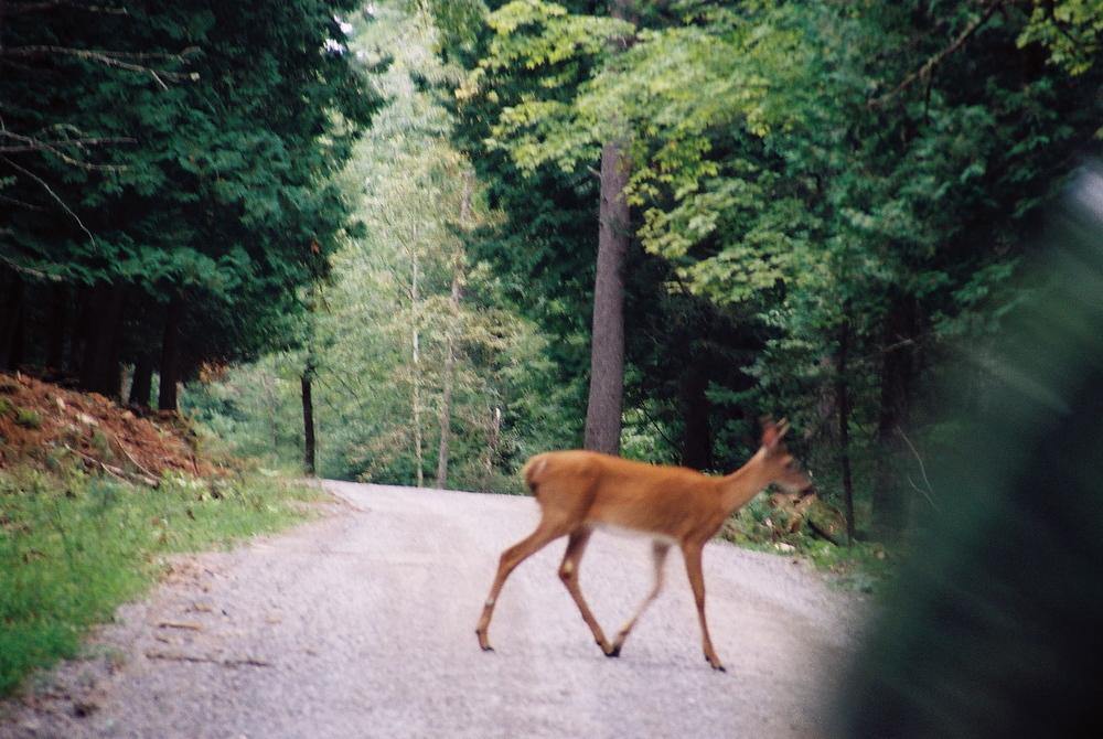 a deer I saw.