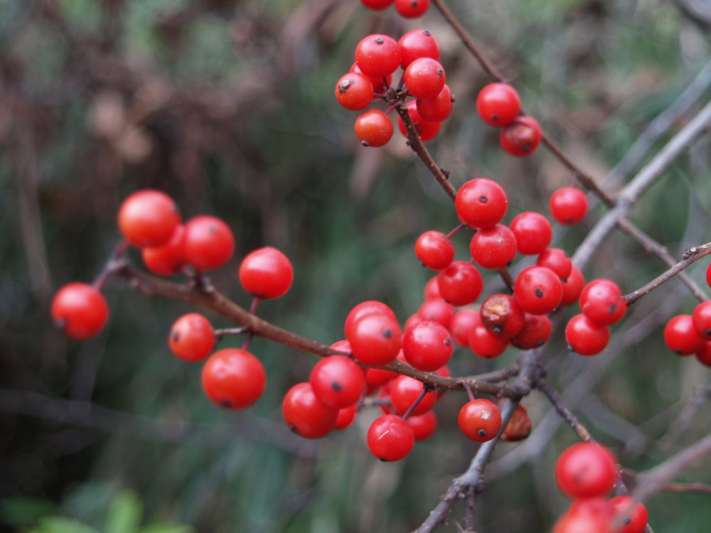 Photo: Red Berries.