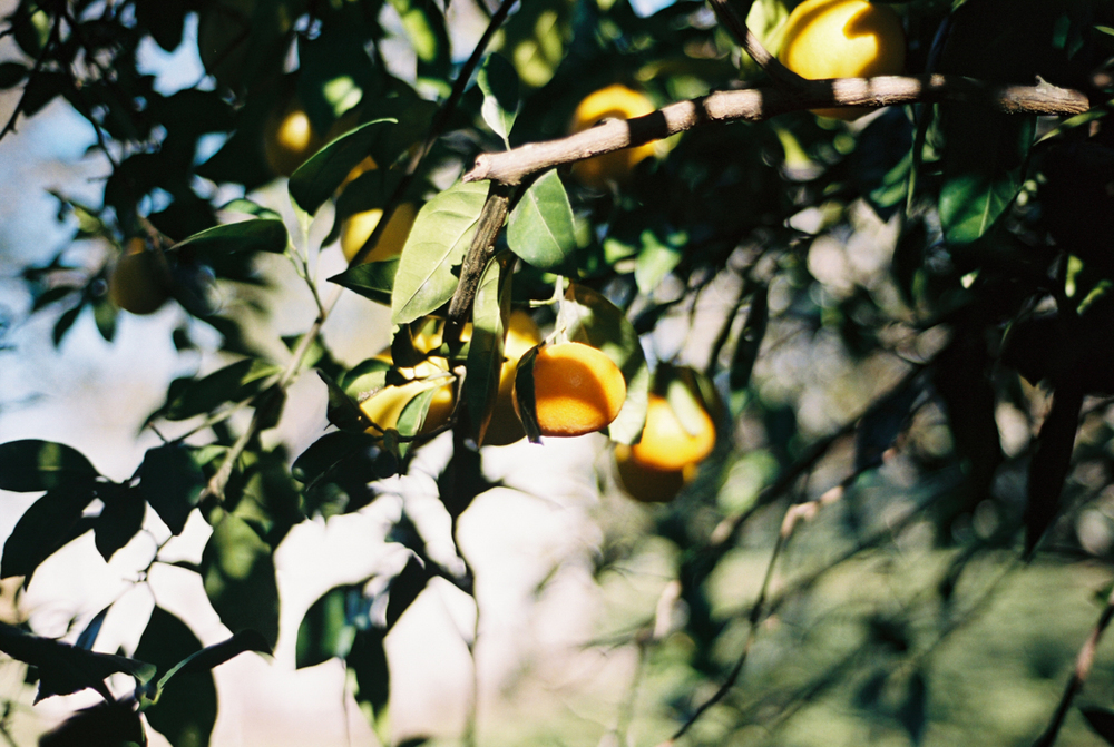 Late Fall Citrus Harvest | Azzari Jarrett