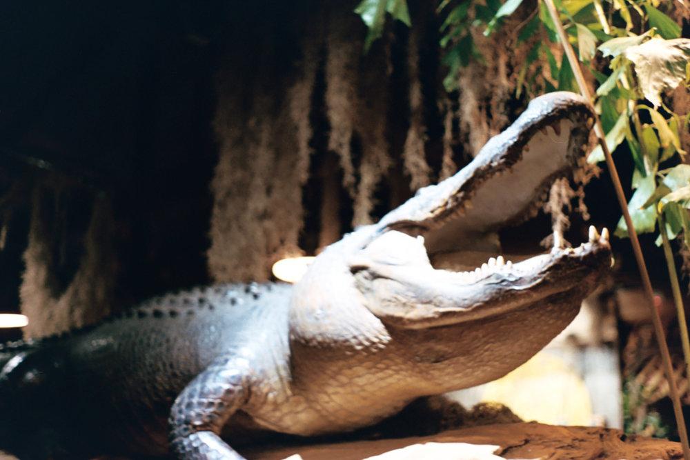 Alligator at Prejean's Restaurant in Lafayette, Louisiana | 35 mm film by Azzari Jarrett