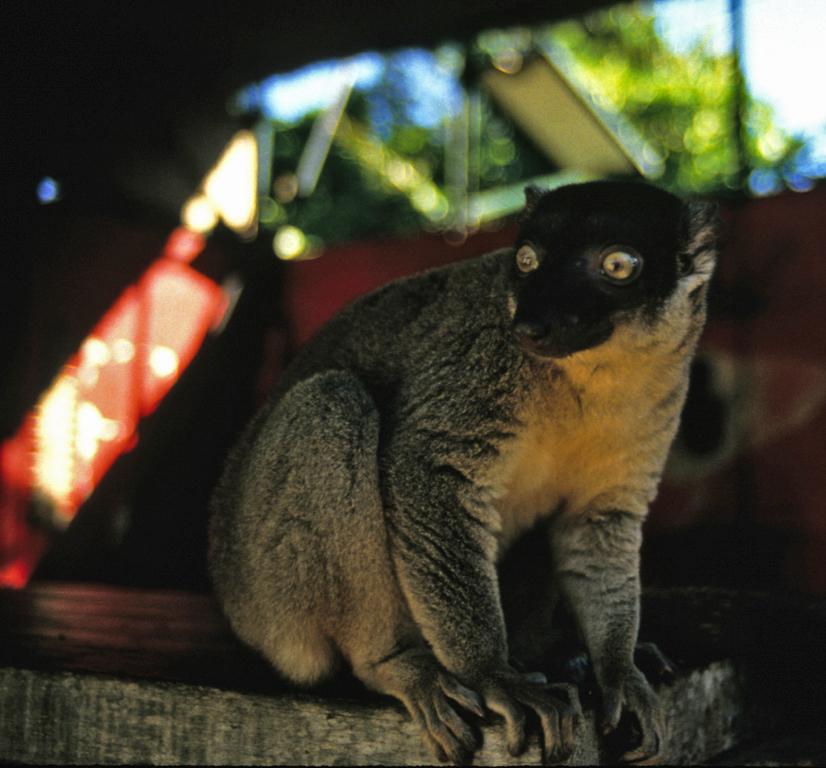 Lemur in the hostal at Ambila Lematso