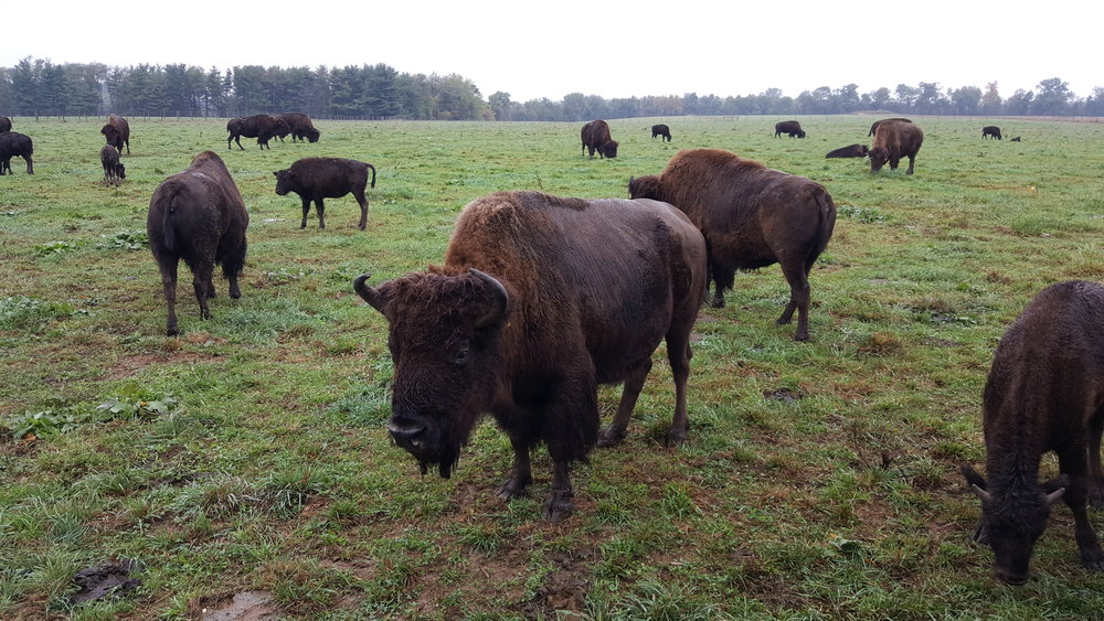 Our national mammal is the American Bison.