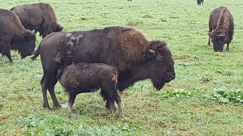 Bison mother and her calf
