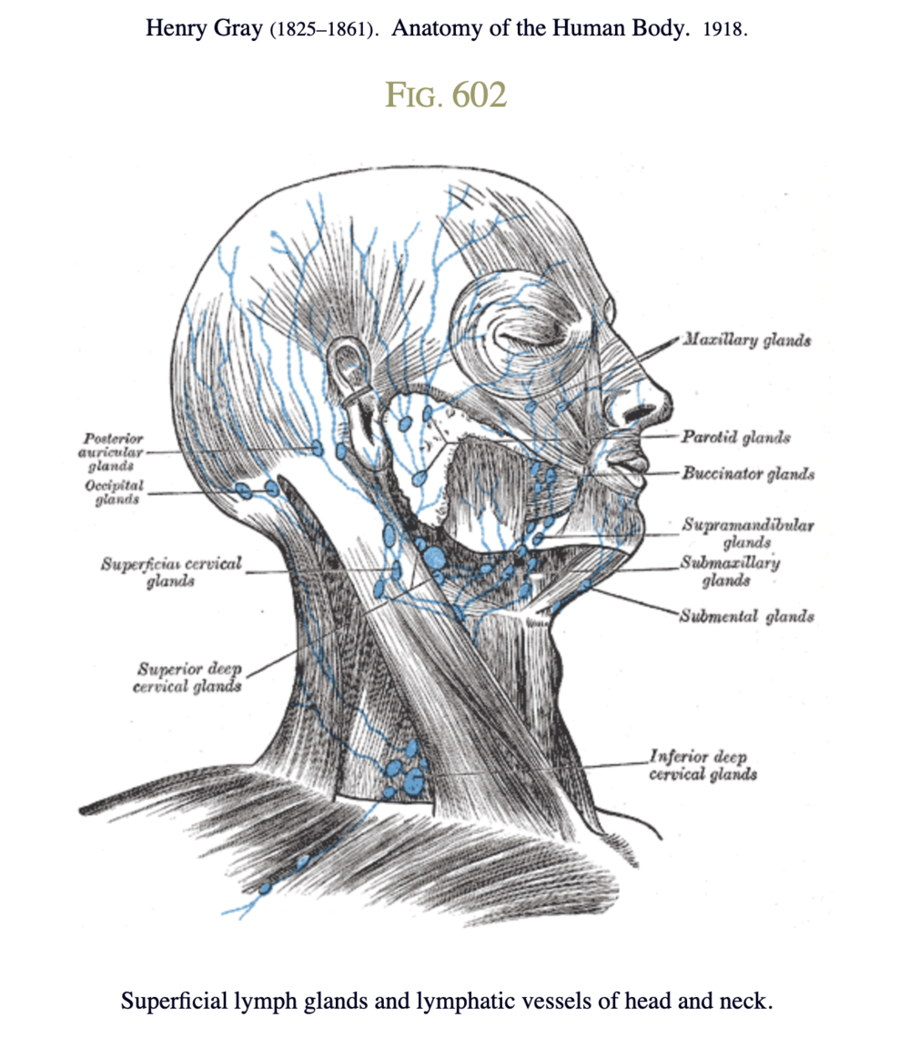 Superficial lymph glands and lymphatic vessels of head and neck from Gray's Anatomy 1918