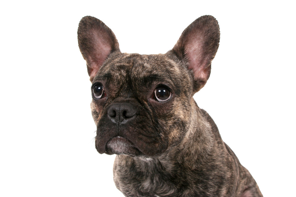 FrenchBulldog_1062.jpg