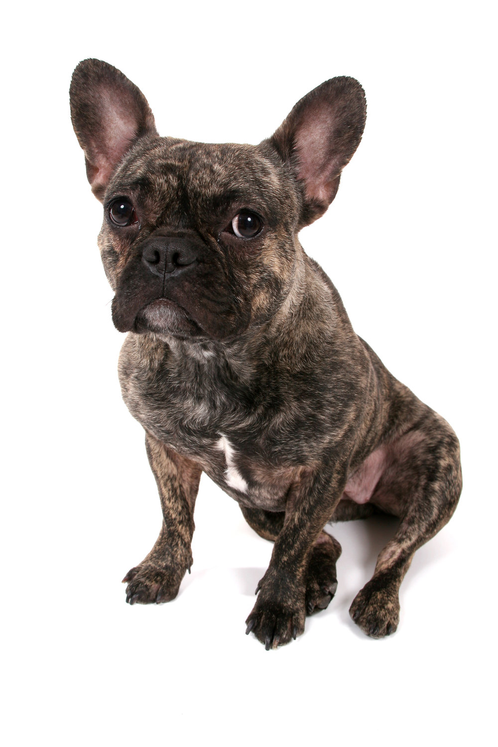 FrenchBulldog_1064.jpg