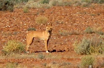 Oodnadatta Track is dingo country, keep food in sealed containers and take all rubbish out with you. Photo thanks to our mates  4x4 Guys