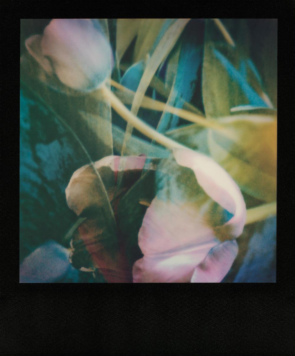 pola_lavender_tulip_1500px.jpg