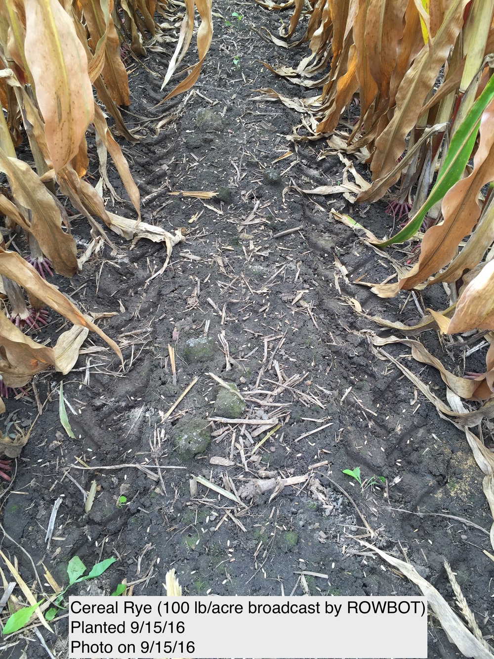Here you can see the cereal rye seeds photographed just after planting today.