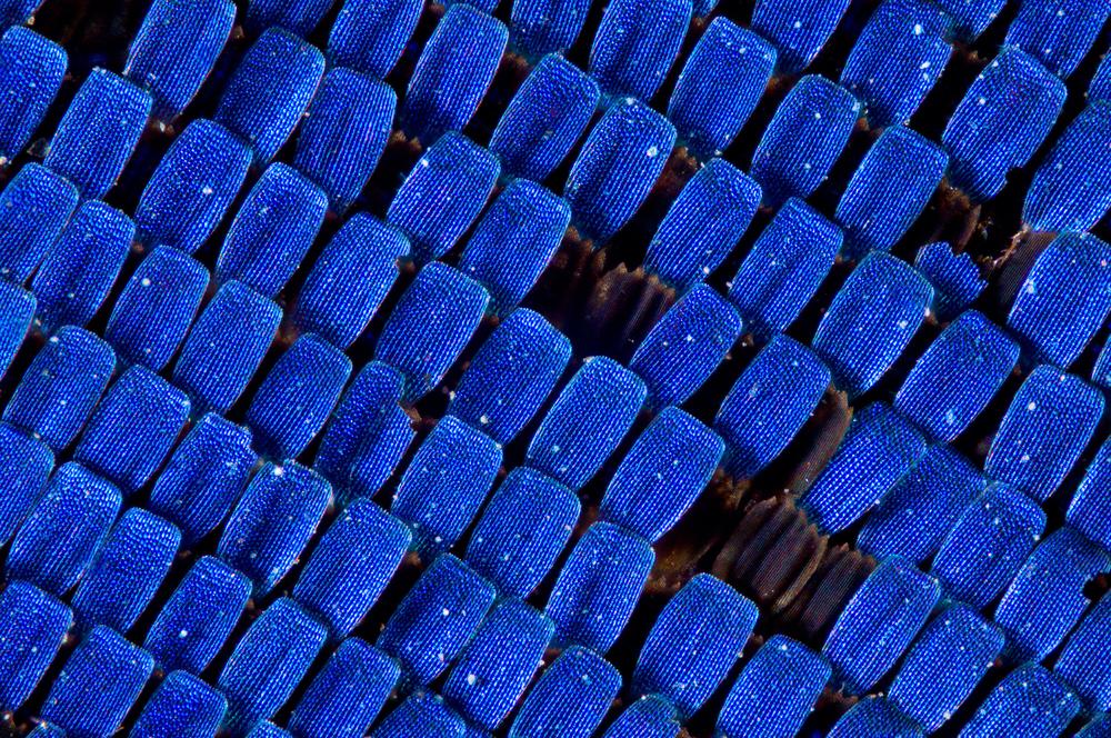 Strukturální šupinky otakárkaP. ulyssesselektivně odrážejí modrou složku světelného spektra. Odhalené černé podkladové šupinky s melaninem ilustrují postupnou erozi modrých šupinek vnější vrstvy. Motýl tak časem ztratí svůj modrý zářivý lesk. Fotografie vznikla metodou Extended Depth of Field. Zvětšení 100×