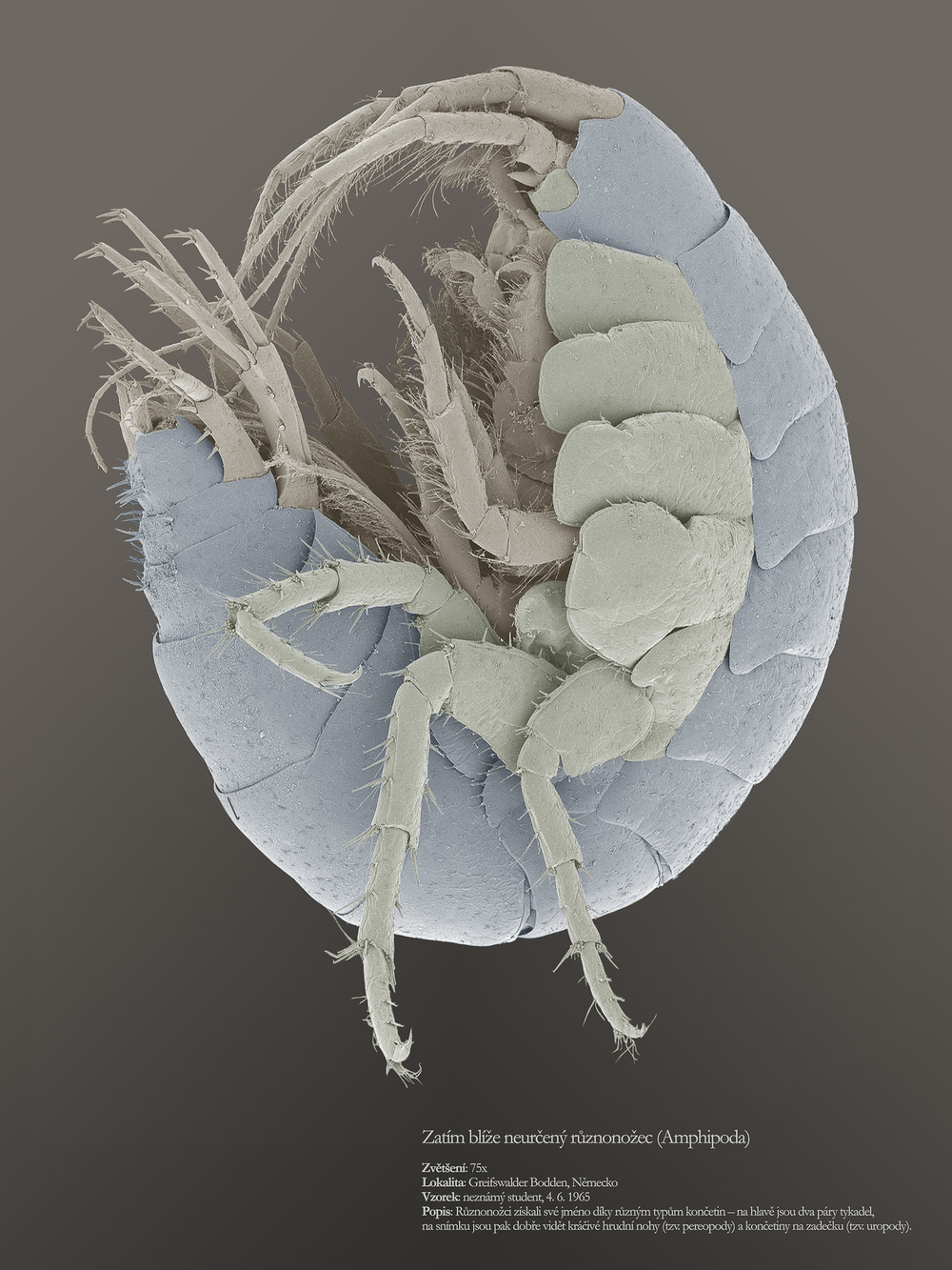 Amphipod.jpg