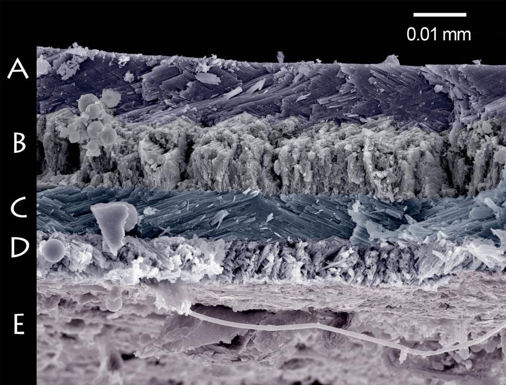 Lom schránky hlemýždě zahradního (Helix pomatia). Na snímku jsou patrné čtyři vrstvy lamelární struktury (písmena A–D), ze kterých je schránka složena. Vnější povrch ulity představuje spodní hranu lomu (E).