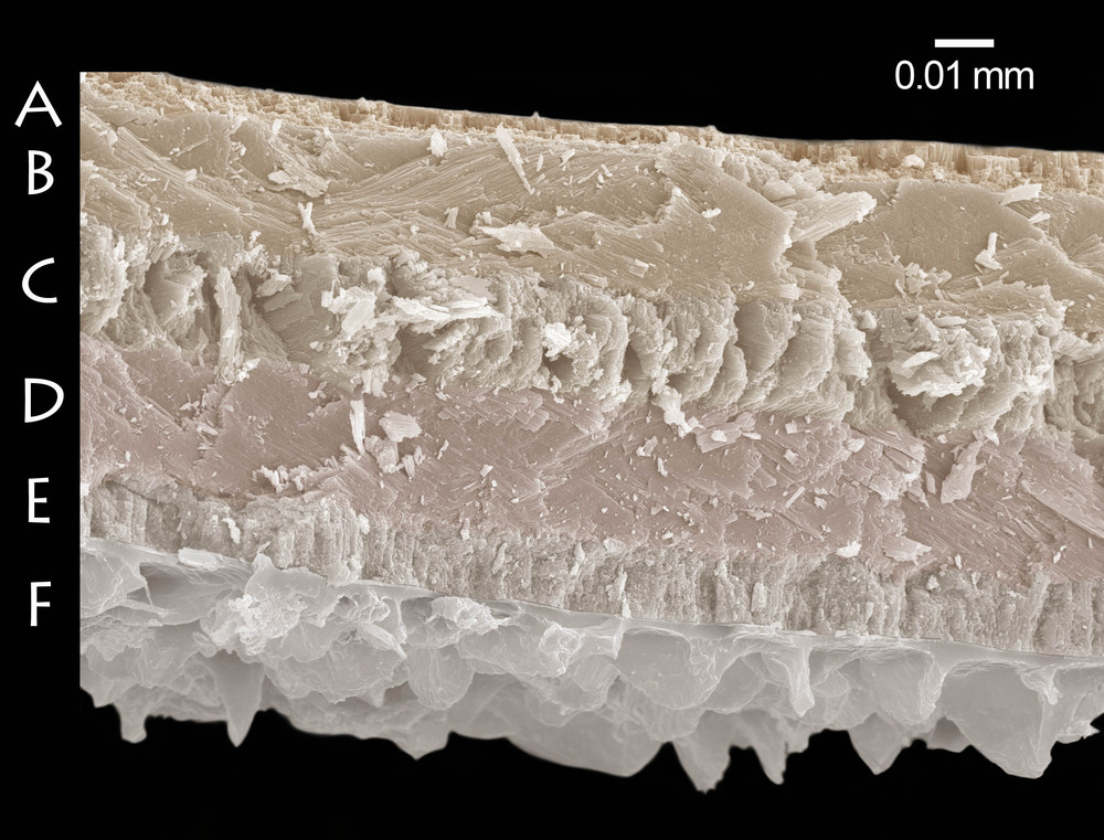 Lom schránky zuboústky trojzubé (Isognomostoma isognomostomos). Je vidět pět různě orientovaných vrstev lamelární struktury (A–E), z nichž je schránka vystavena. Ve spodní části snímku vystupují výrazné struktury pigmentované organické vrstvy – periostraka (F). Periostrakum zuboústky trojzubé (Isognomostoma isognomostomos) s šupinovitými výrůstky neznámé funkce. Zvětšeno 650×.