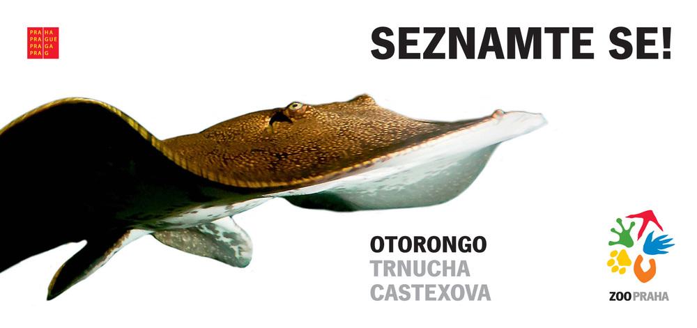 Trnucha Castexova ( Potamotrygon castexi ) přezdívaná Chlapeček je novou tváří kampaně Seznamte se! zoologické zahrady v Praze.