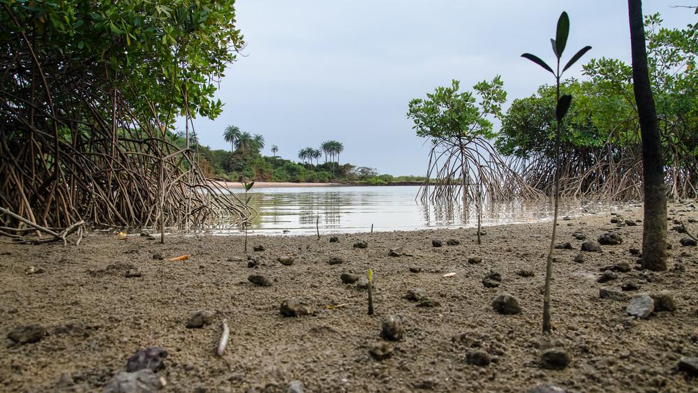 Porosty mangrovů u ostrova Bolama v souostroví Bijagós, Guinea–Bissau. První autor článku šlápl vedle jen několik okamžiků po vzniku této fotografie.