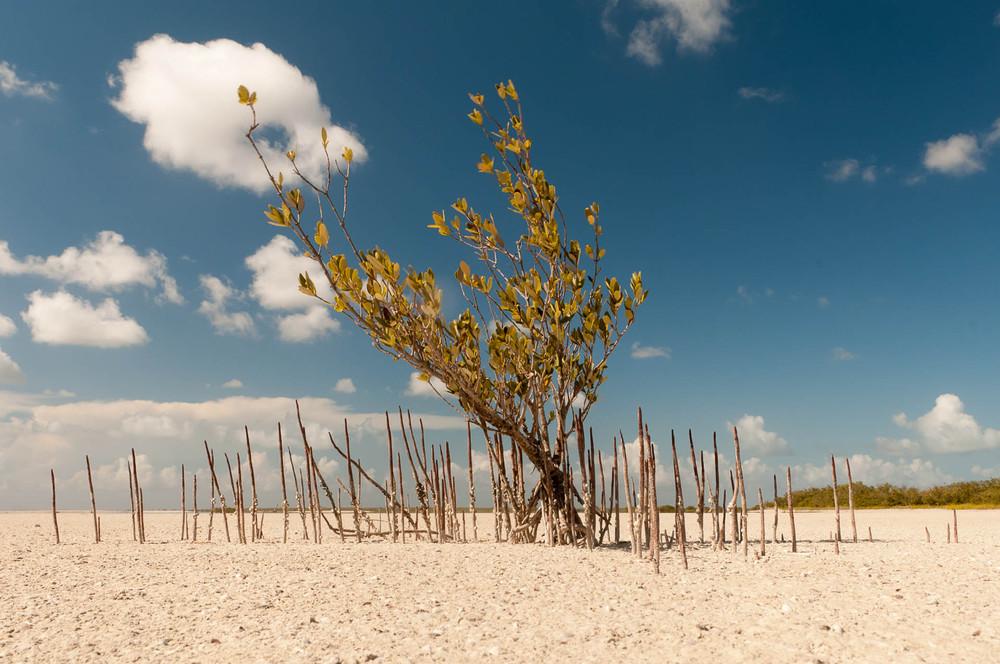 Tento Mangrovník čeká na déšť již několik měsíců. Pobřeží Atlantiku u Cayco Coco.