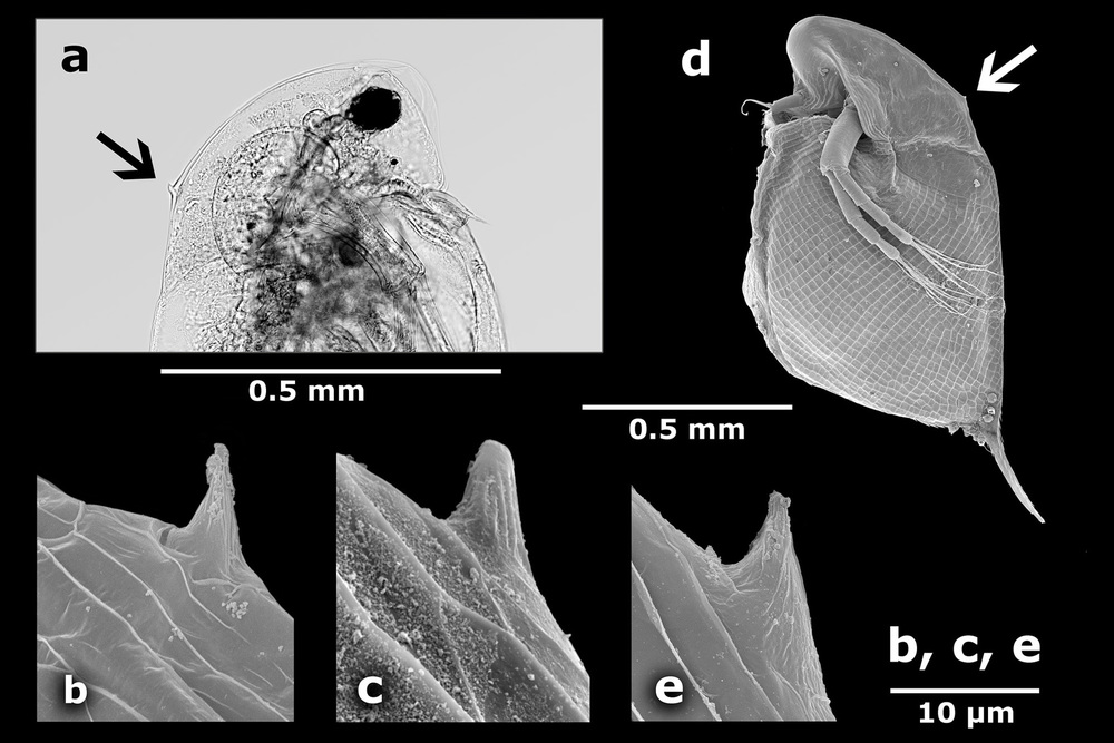 Neckteeth formation in two species of the  Daphnia curvirostris  complex (Crustacea: Cladocera)  / JOURNAL OF LIMNOLOGY
