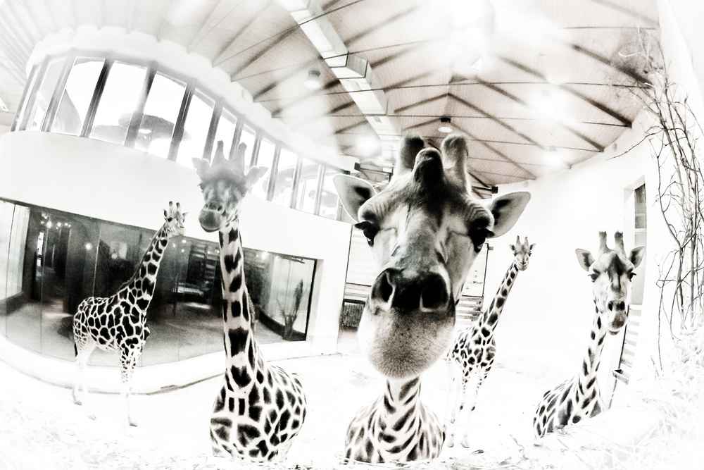 29. října 2012, Zoologická zahrada v Praze Byl jsem s dvěma studenty za žirafami. Tak nějak se stalo že jsem jim oběma půjčil oba fotoaparáty, čím jsem ale měl fotit já? No přeci tím, co bylo po ruce... Zleva doprava: Gabriela, Diana, Faraa, Kleopatra a Eliška. ISO 121, 1/25 sec.