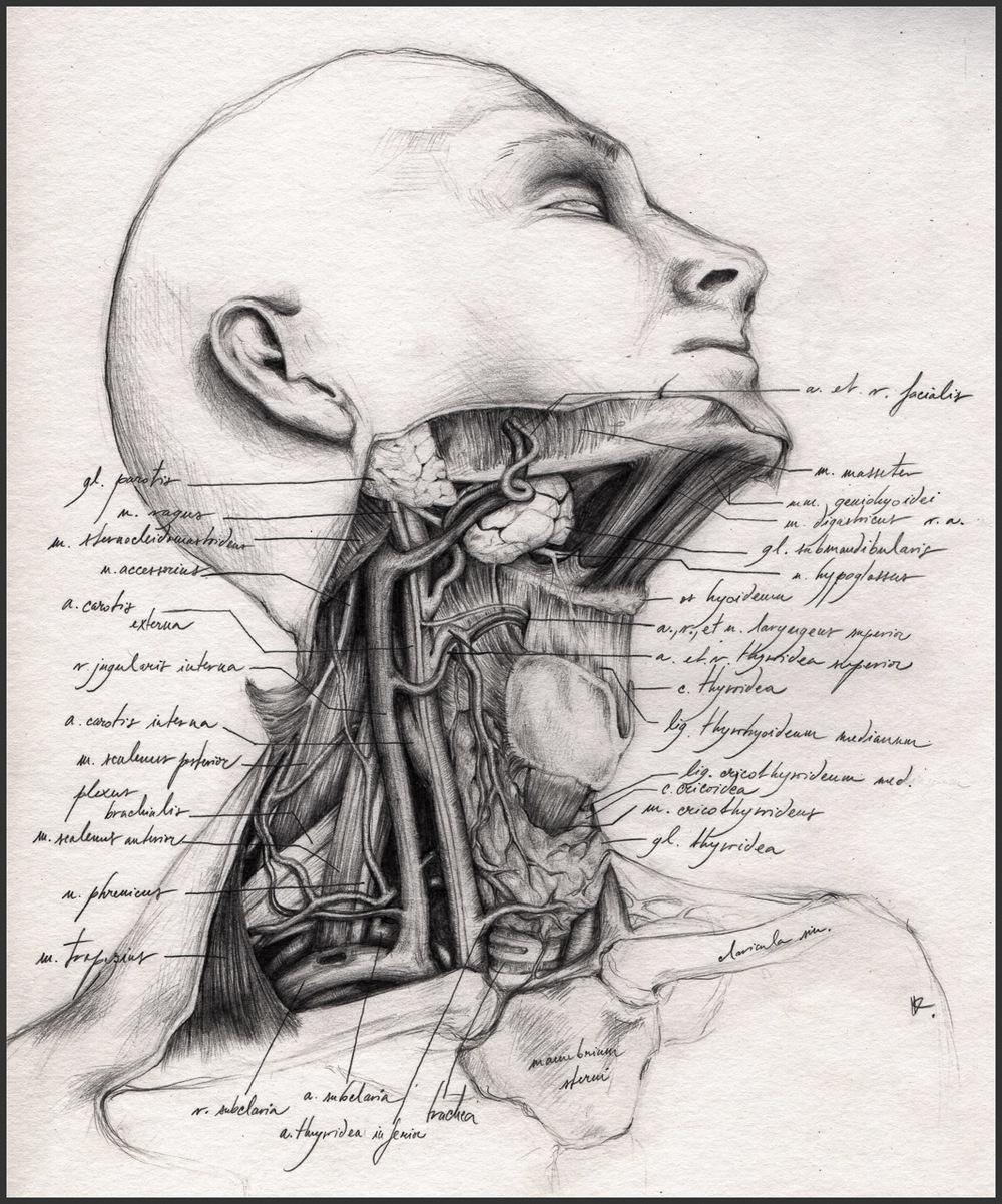 Topografie krku. Krční oblast je jednou z anatomicky nejzajímavějších částí lidského těla. Kresba tužkou zachycuje pohled, který se naskytne po odstranění zdvihače hlavy a podjazylkových svalů. Znázorňuje polohu jednotlivých krčních struktur a jejich topografické vztahy. Orig. B. Košudová, 1. lékařská fakulta UK v Praze, 2. místo v kategorii Vědecké ilustrace