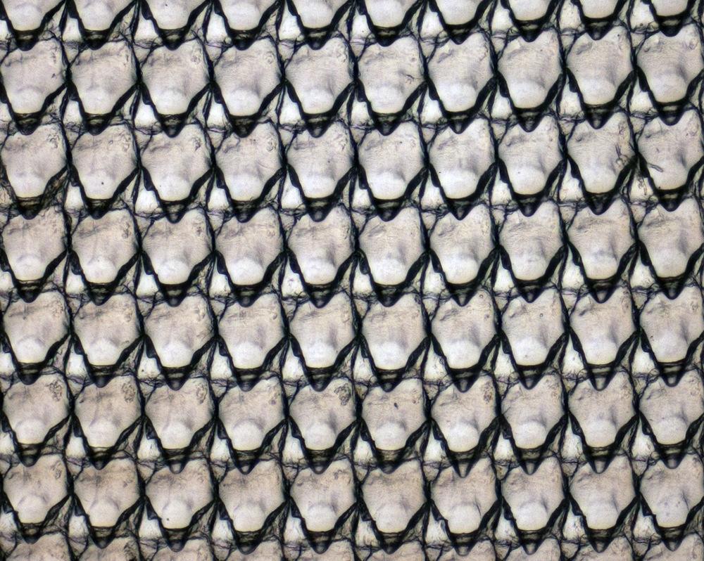 Pohled do ústní dutiny oblovky. Pomocí zoubkované raduly jsou plži schopni potravu strouhat na jemné částice. Zde vidíme několik zoubků patřící oblovce žravé (Achatina fulica). Jednotlivé fotografie byly pořízeny pomocí světelného mikroskopu (zvětšení 100×), poté složeny a barevně upraveny v počítačovém programu. Foto M. Pecharová