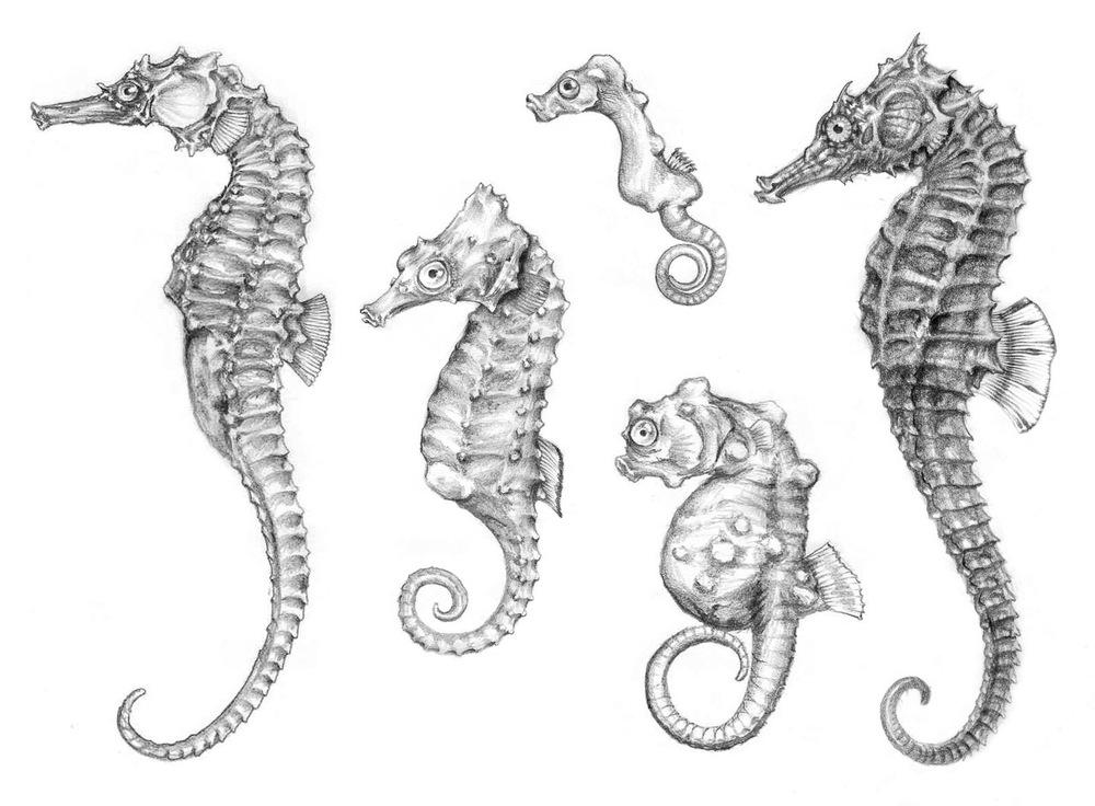Z hlubinných stájí. Typické dračí tělo, ohebný ocas, plavba ve svislé poloze a zvláštní způsoby při námluvách a rozmnožování řadí mořské koníčky k jedněm z nejpozoruhodnějších skupin ryb světových moří a oceánů. Zleva: koníček tygroocasý (Hippocampus comes), H. zosterae, třetí zleva nahoře H. denise, dole koníček zakrslý (H. bargibanti), vpravo koníček obecný (H. hippocampus). Kresba tužkou. Orig. J. Nepožitek