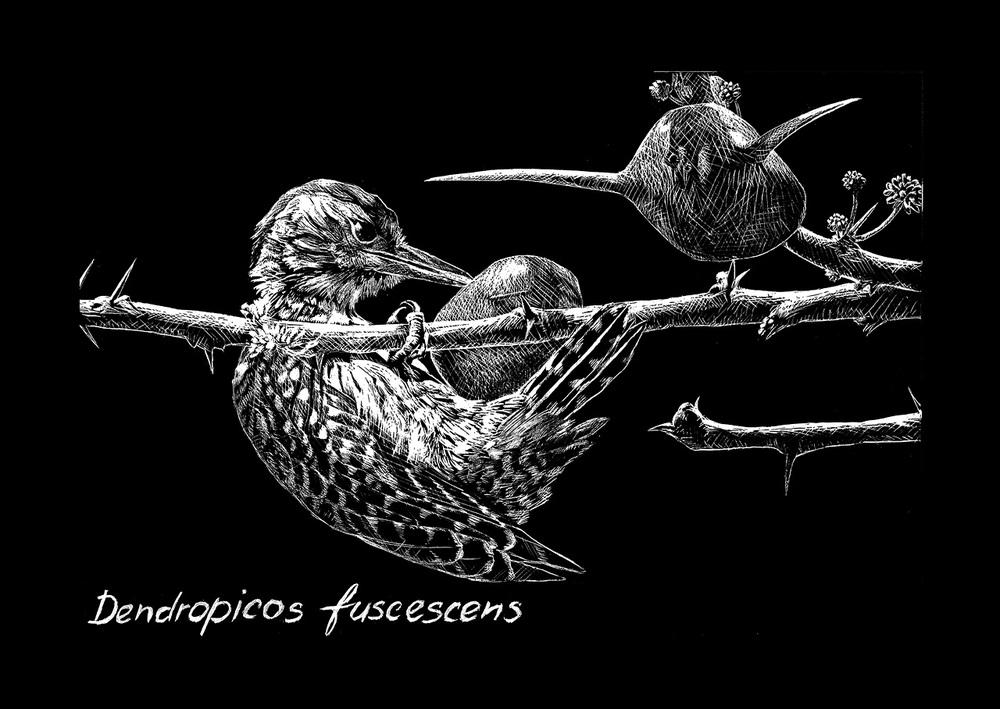 Ptáci v černobílé. Ukázka ze série ilustrací vyškrabaných do černé tabulky (scratchboard). Datel kardinálský (Dendropicos fuscescens) při vylizování mravenců z jejich úkrytu v trnech akácie (Acacia drepanolobium), s níž žijí v symbióze. Orig. M. Nacházelová (obr. 11 a 12); za Ptáky v černobílé 3. místo v kategorii Vědecká ilustrace