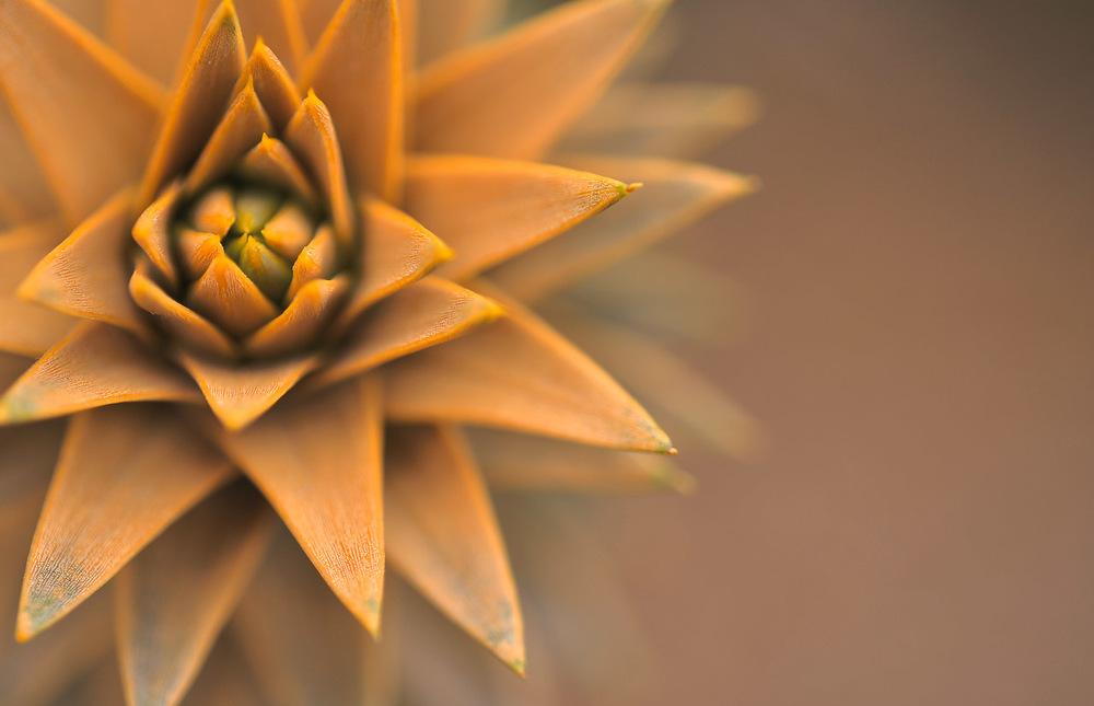Pichlavá. Blahočet (Araucaria) je rod stálezelených jehličnanů z čeledi blahočetovitých (Araucariaceae), až na výjimky rozšířených na jižní polokouli. U nás se pěstuje např. blahočet různolistý (A. heterophylla). Kožovité listy na obrázku mají tvary od jehlicovitých až po široké, vejčité a rostou spirálovitě uspořádané. Foto B. Obstová