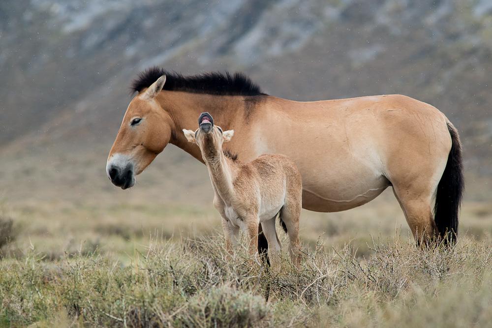 23. června 2013, Khomiin Tal  Od začátku bylo jasné, že fotografovat koně v Gobi B nebude tak snadné jako v Khomiin Talu, kde jsou na člověka zvyklí. TECHNIKA: Nikon D800, Sigma 300 mm f/2,8 APO EX DG HSM, čas 1/2000 s, clona f/7,1, ISO 900, korekce −0,7 EV