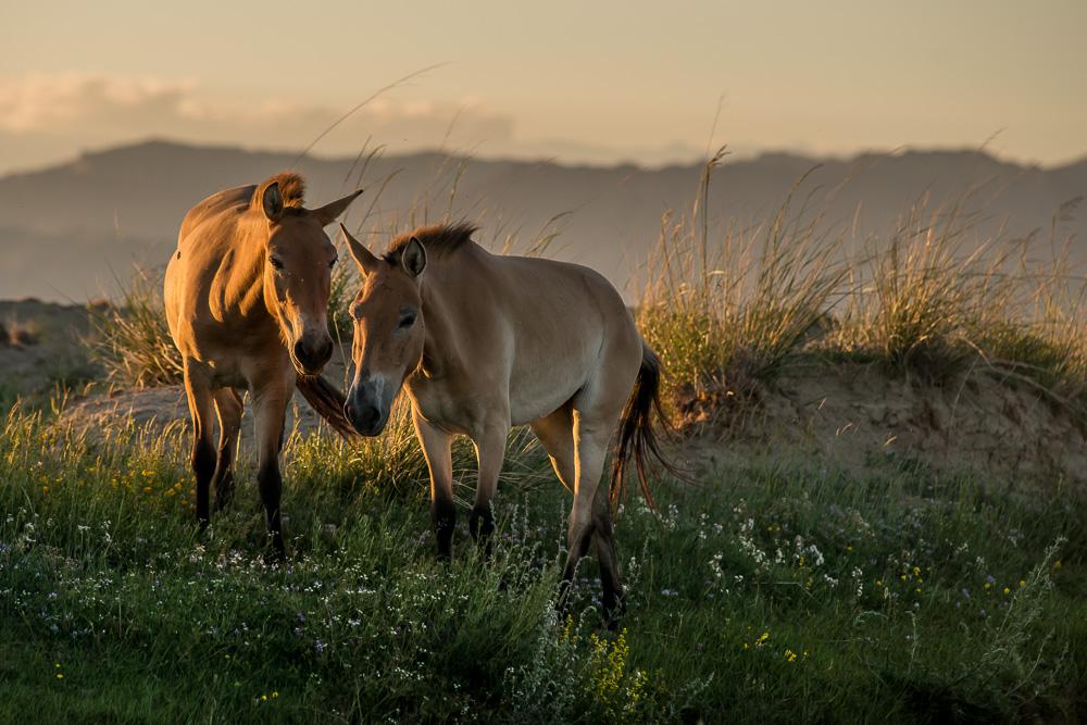 """4. července 2013, Tachin Tal,  Gobi B Úplně opačný extrém je fotografování koní v aklimatizační ohradě. Na snímcích jsou """"naši"""" koně dva dny po již třetím úspěšném transportu. Jsou na lidi zvyklí, navíc nemají kam před člověkem utéct. Spange a Barča. TECHNIKA: Nikon D800, Nikon 180 mm f/2,8D ED-IF AF, čas 1/2000 s, clona f/5,6, ISO 800, korekce −1,3 EV"""