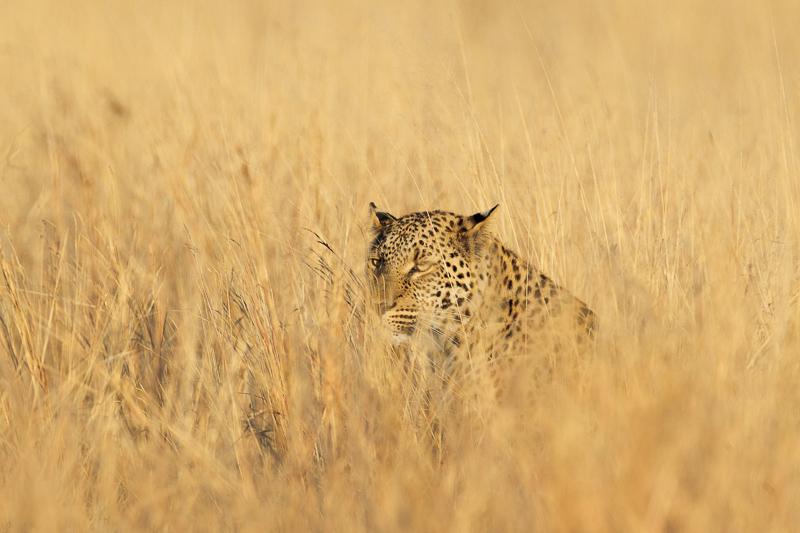 Levhart jihoafrický (Panthera pardus shortridgei) Hwange National Park (Zimbabwe), 28. června 2012 Canon EOS-1D Mark IV, Canon EF 400 mm f/2,8 L IS II USM, fotografováno z ruky, clona 7,1, expoziční čas 1/1600 s, ISO 320, kompenzace expozice: −1Foto: Ondřej Prosický