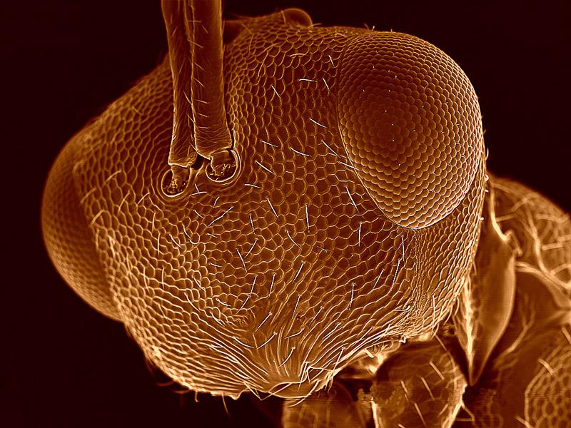 """Hlava parazitické vosičky (Hymenoptera), rastrovací elektronový mikroskop, počítačově obarveno. K základní vědecké informaci přidávám ještě něco estetiky v podobě barev atd. My všichni popularizátoři máme svoje """"know-how"""", které si pečlivě střežíme. Toto už nejsou původní vědecké fotografie, ale pro propagaci vědy dělají hodně. Foto: František Weyda"""
