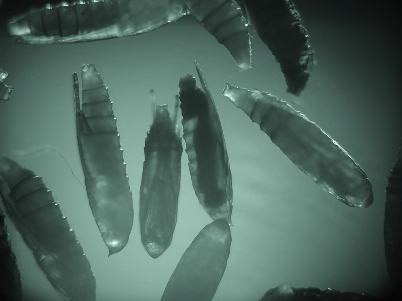 S nástupem vědecké digitální fotografie jsem vypracoval v mé Laboratoři digitálního zobrazování v entomologii v Entomologickém ústavu AV ČR v Českých Budějovicích techniku fotografování biologických objektů v infračerveném světle (čip na IR velmi dobře reagoval). Stal jsem se tak trochu průkopníkem této techniky v ČR. Na snímku neinvazivní detekce kukel blanokřídlých parazitoidů v kuklách klíněnek (Sony DSC-F828).Foto: František Weyda