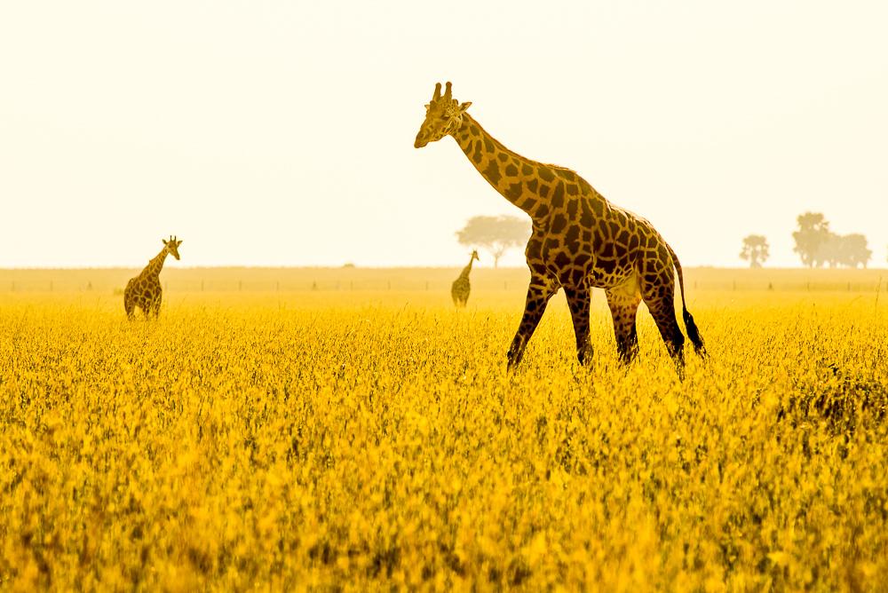 Žirafy v řepkovém poli