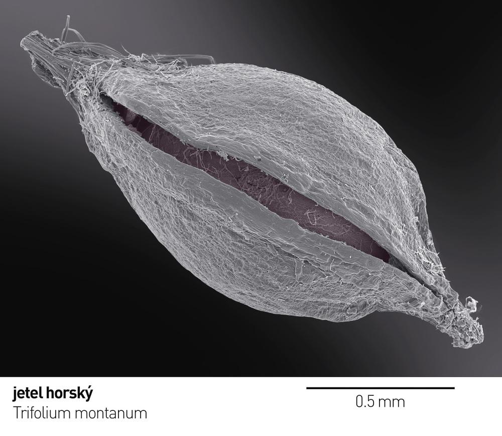 Trifolium_montanum 1 a x.jpg