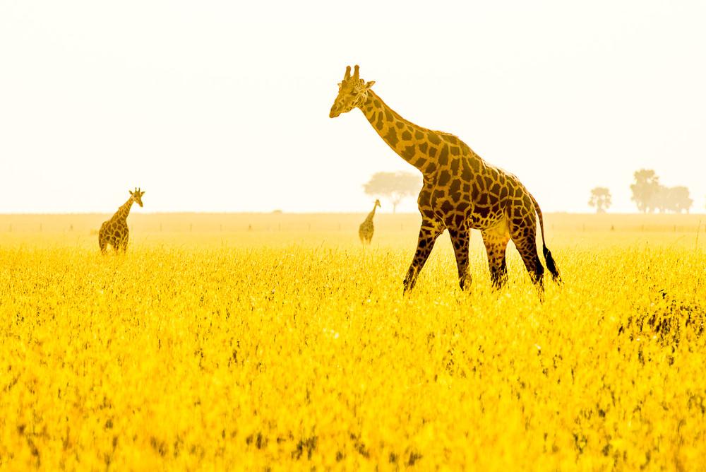 Žirafy v řepkovém poli, to mi k téhle fotce napsalo už hodně lidí. Samozřejmě se jedná o suchou trávu, která v protisvětle a v trochu teplejším vyvážení bílé působí jako řepkové lány kolem Prahy…  Nikon D610, Sigma 300 mm f/2,8 APO EX DG HSM, čas 1/1000 s, clona f/7,1, ISO 220, bez korekce expozice