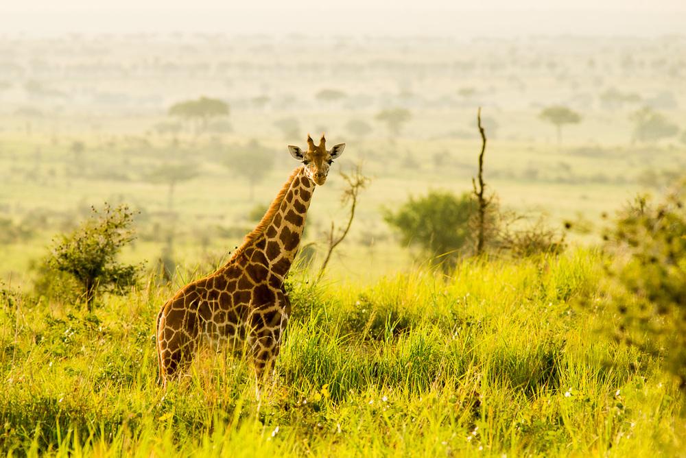 Žirafa Rothschildova patří mezi světově ohrožené druhy na pokraji vyhubení. V Ugandě však platí za velmi hojnou… Nikon D610, Sigma 300 mm f/2,8 APO EX DG HSM, čas 1/1000 s, clona f/7,1, ISO 400, korekce −0,7 EV