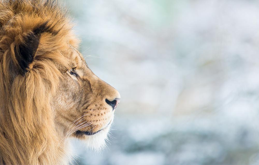 Lev berberský ( Panthera leo leo ) Lvi nepatří mezi snadná témata, protože jsou velcí. Mým cílem je vždy nepřiznat, že je snímek pořízený v zajetí, a je tak těžké komponovat záběr tak, aby se v něm nevyskytl ohradník či jiné rušivé prvky. Proto jsem lvy ani neměl v plánu. Když jsem šel čistě náhodou kolem jejich výběhu, ozval se samec poměrně hlasitým řevem a já se rozhodl se na něj přeci jen podívat. Ještě že tak! Tento snímek vznikl v prvních několika málo minutách od zaplacení vstupného, a lepší příležitost už pro focení lvů za celé dva dny nebyla. Zkrátka štěstí.  Nikon D610, Sigma 300mm f/2.8 EX DG HSM APO, f/4, čas 1/1000 sec., ISO 1800