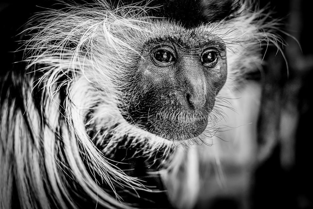 Gueréza angolská ( Colobus angolensis palliatus ) Ať jsem v jakékoliv zoo, pokud mají guerézy, strávím s nimi vždy alespoň hodinu. Jejich charismatické výrazy jsou neskutečně fotogenické, přičemž velmi rády i několik sekund zapózují.  Nikon D610, Nikon 50mm f/1.8 D, f/4, čas 1/80 sec., ISO 2000