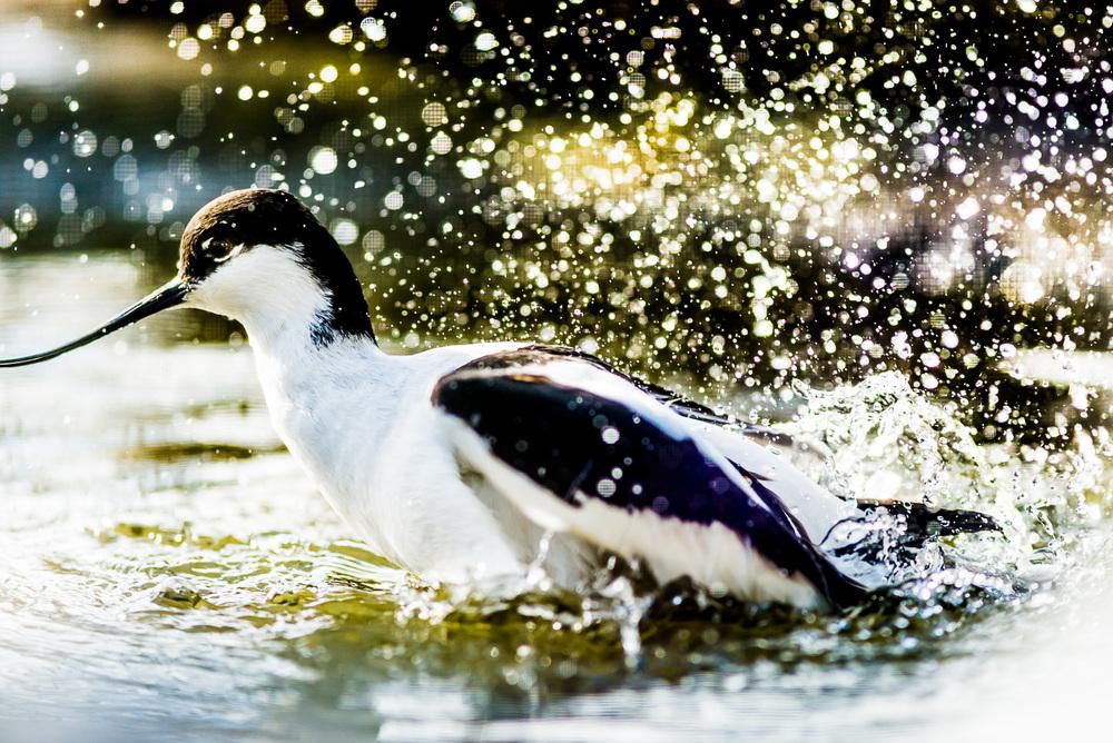 Tenkozobec opačný (Recurvirostra avosetta) Tenkozobci jsou naprosto geniální ptáci. Nemyslím tím ani tak etologické, jako fotografické hledisko. Velmi rádi se oddávají koupelím, při kterých odlétávají kapky vody daleko od těla. Proto jsem si k nim našel cestu po oba dva dny tak, abych je mohl fotografovat v protisvětle. Koupel však přišla natolik brzo po mém příchodu, že jsem nestihl přehodit objektivy a musel jsem rychle fotografovat třístovkou, přičemž se mě nepovedlo ohlídat konec zobáku - tento snímek je tak hezkou ukázkou toho, že je mnohdy lepší fotografovat cíleně kratšími skly a objekt následně vyříznout. Jinak fotografie putuje bolestivě do koše, přesně jako tato. Nikon D610, Sigma 300mm f/2.8 EX DG HSM APO, f/4, čas 1/2000 sec., ISO 800