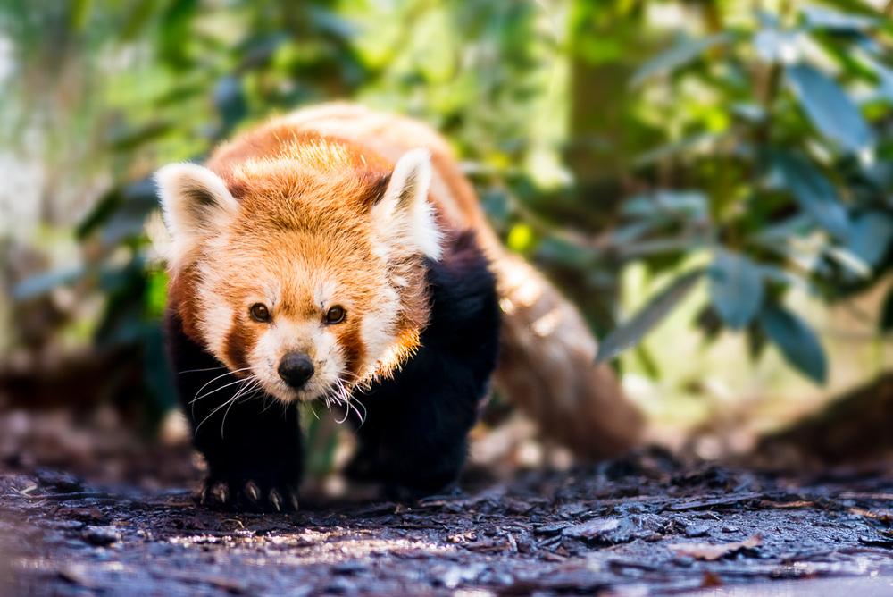 Panda červená ( Ailurus fulgens ) Pokud je na první pohled vidět, že se nějaké zvíře zrovna drží své vychozené cesty a chodí ji stále do kola, zalehám vždy do nejlepší možné pozice a čekám, až mi vleze do záběru. V mrazivém únoru jsme tuto hru hráli zhruba hodinu - zatímco panda obcházela venkovní bazének, já ležel na zámkové dlažbě. Ze všech fotografií v tomto článku je tato jediná, kterou jsem musel upravovat pomocí vrstev ve Photoshopu. Proč? Protože se i přes malou clonu zachovala v pozadí nelichotivá struktura klece, kterou jsem chtěl divákovi utajit. Krom pandy se své trasy drží často i mnohé jiné šelmy.